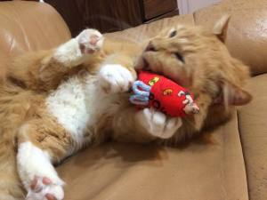 "Sam playing with his ""CAT"" Catnip Mouse"